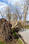 Uprooted Tree after Windstorm, Vancouver, British Columbia, Canada Stock Photo - Premium Rights-Managed, Artist: J. A. Kraulis, Code: 700-03805726