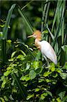 India, Ranganathittu Bird Sanctuary. A cattle egret in breeding plumage. Stock Photo - Premium Rights-Managed, Artist: AWL Images, Code: 862-03807525