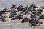 Wildebeest swimming across the Mara River during their annual migration from the Serengeti National Park in Northern Tanzania to the Masai Mara National Reserve. Stock Photo - Premium Rights-Managed, Artist: AWL Images, Code: 862-03807743