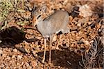 Kenya, Samburu District.  A young male dik dik, foraging in the undergrowth, in Samburu District. Stock Photo - Premium Rights-Managed, Artist: AWL Images, Code: 862-03807770