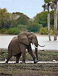 An elephant near the Rufiji River in Selous Game Reserve. Stock Photo - Premium Rights-Managed, Artist: AWL Images, Code: 862-03808700