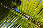 Close-Up of Palm Leaf Stock Photo - Premium Rights-Managed, Artist: R. Ian Lloyd, Code: 700-03814229