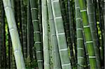 Close-Up of Bamboo in Forest, Sagano, Arashiyama, Kyoto, Kansai, Japan Stock Photo - Premium Rights-Managed, Artist: Siephoto, Code: 700-03814285