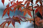 Close-Up of Autumn Leaves, Kyoto, Kansai, Honshu, Japan Stock Photo - Premium Rights-Managed, Artist: Siephoto, Code: 700-03814296