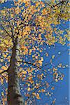 Tree in Autumn, Mont-Tremblant , Quebec, Canada Stock Photo - Premium Royalty-Free, Artist: Pierre Arsenault, Code: 600-03814579