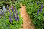 Lupines and Path in Spring, Kitty Coleman Woodland Gardens, Courtenay, British Columbia, Canada Stock Photo - Premium Rights-Managed, Artist: J. A. Kraulis, Code: 700-03814652
