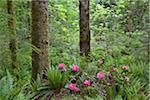 Rhododendrons in Forest, Kitty Coleman Woodland Gardens, Courtenay, British Columbia, Canada Stock Photo - Premium Rights-Managed, Artist: J. A. Kraulis, Code: 700-03814655