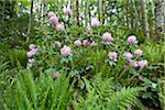 Rhododendrons in Forest, Kitty Coleman Woodland Gardens, Courtenay, British Columbia, Canada Stock Photo - Premium Rights-Managed, Artist: J. A. Kraulis, Code: 700-03814659