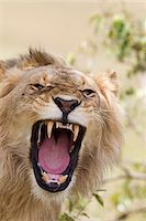 roar lion head picture - Young Male Lion Roaring, Masai Mara National Reserve, Kenya Stock Photo - Premium Royalty-Freenull, Code: 600-03814828
