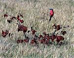 A Carmine Bee eater in the Moremi Wildlife Reserve. This unmistakable bird is one of the most beautiful members of its family.Moremi incorporates Chiefs Island and was the first reserve in Africa to be created by indigenous Africans. Stock Photo - Premium Rights-Managed, Artist: AWL Images, Code: 862-03820194