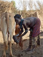 A Dassanech woman milks her familys cattle in the early morning.The Dassanech speak a language of Eastern Cushitic origin.They live in the Omo Delta and they practice animal husbandry and fishing as well as agriculture. Stock Photo - Premium Rights-Managednull, Code: 862-03820483