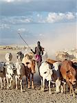 A very tall, armed Nyangatom herdsman drives cattle through arid, dusty country to water on the Omo River.The Nyangatom are one of the largest tribes and arguably the most warlike people living along the Omo River in Southwest Ethiopia. Stock Photo - Premium Rights-Managed, Artist: AWL Images, Code: 862-03820532