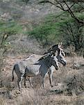 Grevys zebras inhabit dry bush country in Northern Kenya.They are the most northerly representatives of the zebra family and can be distinguished from the common or Burchells zebra by their large frame, saucer shaped ears and close set stripes.They are listed by IUCN as an endangered species. Stock Photo - Premium Rights-Managed, Artist: AWL Images, Code: 862-03820685
