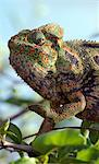 A brightly coloured chameleon  in Isalo National Park.  Situated in cattle owning Bara country of Southern Madagascar,  Isalo National Park.Madagascar is synonymous with these magnificent old world reptiles.Two-thirds of all known species are native to the island, the fourth largest in the world. Stock Photo - Premium Rights-Managed, Artist: AWL Images, Code: 862-03820817