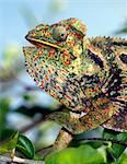 A brightly coloured chameleon  in Isalo National Park.  Situated in cattle owning Bara country of Southern Madagascar,  Isalo National Park.Madagascar is synonymous with these magnificent old world reptiles.Two-thirds of all known species are native to the island, the fourth largest in the world. Stock Photo - Premium Rights-Managed, Artist: AWL Images, Code: 862-03820819