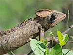 A male chameleon .Madagascar is synonymous with these magnificent old world reptiles.Two thirds of all known species are native to the island, the fourth largest in the world.A chameleons ability to change colour and swivel its eyes 180 degrees makes it a reptile of considerable fascination. Stock Photo - Premium Rights-Managed, Artist: AWL Images, Code: 862-03820850