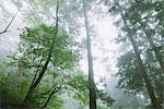 Sunbeam Passing Through Trees In Forest Stock Photo - Premium Rights-Managed, Artist: Aflo Relax, Code: 859-03839436