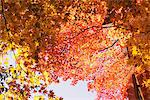 View From Below Maple Tree Stock Photo - Premium Rights-Managed, Artist: Aflo Relax, Code: 859-03839450