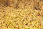 Fallen Leaves In Autumn Stock Photo - Premium Rights-Managed, Artist: Aflo Relax, Code: 859-03839552