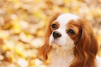 Cavalier King Charles Spaniel Dog Close Up Stock Photo - Premium Rights-Managednull, Code: 859-03839666