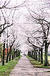 Cherry blossoms lined street Stock Photo - Premium Rights-Managed, Artist: Aflo Relax, Code: 859-03840739