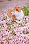 Cat and Petals of Cherry blossom Stock Photo - Premium Rights-Managed, Artist: Aflo Relax, Code: 859-03840884