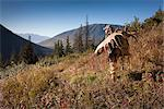 Moose hunter carries a large moose antler rack as he hikes out from his hunt in the Bird Creek drainage area, Chugach National Forest, Chugach Mountains, Southcentral Alaska, Autumn Stock Photo - Premium Rights-Managed, Artist: AlaskaStock, Code: 854-03845040