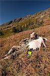 Male moose hunter rests on a sunny mountainside with his trophy moose antler rack in the Bird Creek drainage area, Chugach Mountains, Chugach National Forest, Southcentral Alaska, Autumn Stock Photo - Premium Rights-Managed, Artist: AlaskaStock, Code: 854-03845052