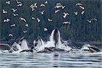 Humpback whales bubble net feeding for herring in Chatham Strait, Tongass National Forest, Inside Passage, Southeast Alaska, Summer Stock Photo - Premium Rights-Managed, Artist: AlaskaStock, Code: 854-03845120