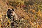 A Brown Bear forages on Soapberries in the Tatshenshini-Alsek Wilderness Provincial Park, Yukon Territory, Canada, Autumn Stock Photo - Premium Rights-Managed, Artist: AlaskaStock, Code: 854-03845126