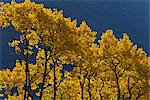 View of scenery and yellow Aspen trees along the Alaska Highway between Haines and Haines Junction, Yukon Territory, Canada Stock Photo - Premium Rights-Managed, Artist: AlaskaStock, Code: 854-03845134