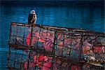 Bald eagle perched on a crab pot near the Channel Transient Float in downtown Kodiak, Southwest Alaska, Winter Stock Photo - Premium Rights-Managed, Artist: AlaskaStock, Code: 854-03845219