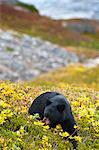 A black bear foraging for berries near the Harding Icefield Trail with Exit Glacier in the background, Kenai Fjords National Park, Seward, Southcentral Alaska, Autumn Stock Photo - Premium Rights-Managed, Artist: AlaskaStock, Code: 854-03845566