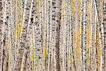 Close up of a Poplar Tree forest in Autumn creates a natural pattern, Kantishna, Denali national Park and Preserve, Interior Alaska, Autumn. HDR Stock Photo - Premium Rights-Managed, Artist: AlaskaStock, Code: 854-03845614
