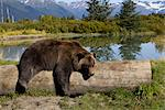 A captive female grizzly lies draped over a log with a pond and mountains in the background, Alaska Wildlife Conservation Center, Southcentral Alaska, Summer. Captive Stock Photo - Premium Rights-Managed, Artist: AlaskaStock, Code: 854-03845640