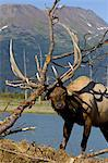 An adult Roosevelt bull elk thrashes a tree with his antlers during the Autumn rut, Alaska Wildlife Conservation Center near Portage, Southcentral Alaska. CAPTIVE Stock Photo - Premium Rights-Managed, Artist: AlaskaStock, Code: 854-03845688