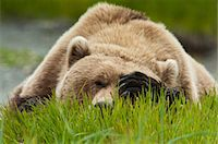 Brown bear resting on sedge grass with paw over eyes at the McNeil River State Game Sanctuary, Southwest Alaska, Summer Stock Photo - Premium Rights-Managed, Artist: AlaskaStock, Code: 854-03845794