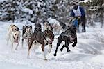 Nathan Sterling and team mushing during the 2010 Fur Rondy Sled Dog Championships, Anchorage, Southcentral Alaska, Winter Stock Photo - Premium Rights-Managed, Artist: AlaskaStock, Code: 854-03845844