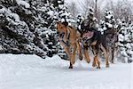 Marvin Kokrine's sled dog team mushing during the 2010 Fur Rondy Sled Dog Championships, Anchorage, Southcentral Alaska, Winter Stock Photo - Premium Rights-Managed, Artist: AlaskaStock, Code: 854-03845846