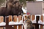Siberian Husky and a moose calf nose to nose over a picket fence, Wasilla, Southcentral Alaska, Winter Stock Photo - Premium Rights-Managed, Artist: AlaskaStock, Code: 854-03845867