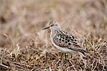Baird's Sandpiper stands on tundra of the Arctic Coastal Plain, National Petroleum Reserve, Arctic Alaska, Spring Stock Photo - Premium Rights-Managed, Artist: AlaskaStock, Code: 854-03845890