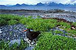 Black Oystercatcher on nest showing 4 eggs with Port Gravina and Chugach mountains in Background, Prince William Sound, Southcentral Alaska, Summer Stock Photo - Premium Rights-Managed, Artist: AlaskaStock, Code: 854-03845900