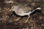 Rock Sandpiper in Winter plumage, Kodiak Island, Southwest Alaska, Winter Stock Photo - Premium Rights-Managed, Artist: AlaskaStock, Code: 854-03845936