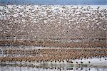 Large flock of Western Sandpipers and Dunlins taking flight on mud flats of Hartney Bay during Spring migration, Copper River Delta, Southcentral Alaska Stock Photo - Premium Rights-Managed, Artist: AlaskaStock, Code: 854-03845942