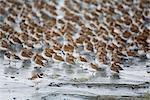 Large flock of Western Sandpipers, Dunlins, and a single Semipalmated Plover roosting on the mud flats of Hartney Bay during Spring migration, Copper River Delta,Southcentral Alaska Stock Photo - Premium Rights-Managed, Artist: AlaskaStock, Code: 854-03845946