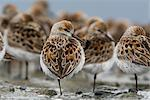 Western Sandpipers roosting on mud flats of Hartney Bay during Spring migration,  Copper River Delta,Southcentral Alaska Stock Photo - Premium Rights-Managed, Artist: AlaskaStock, Code: 854-03845960