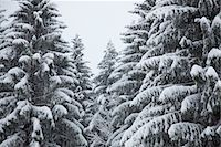 panoramic winter scene - Snow-covered fir trees Stock Photo - Premium Royalty-Freenull, Code: 632-03847881