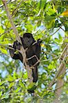 Black Howler Monkey, Roatan, Bay Islands, Honduras Stock Photo - Premium Royalty-Free, Artist: Martin Ruegner, Code: 600-03849121