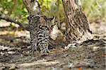Ocelot in Forest, Roatan, Bay Islands Honduras Stock Photo - Premium Royalty-Free, Artist: Martin Ruegner, Code: 600-03849123