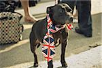 Dog Dressed Up at Street Party in Celebration of Wedding of Prince William and Kate Middelton, East Finchley, London Borough of Barnet, London, England, UK Stock Photo - Premium Rights-Managed, Artist: Matt Brasier, Code: 700-03865235